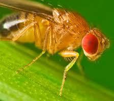 All Hail the Fruit Fly?